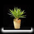 Potted Yukka Fresh Flower  from: AU$89.95