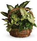 Plants Baskets - Emerald Garden Basket Nephthytis, Pothos Green  from: USD$50.95