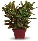 Teleflora Plants - Stately Croton Crotons Green  from: USD$59.45